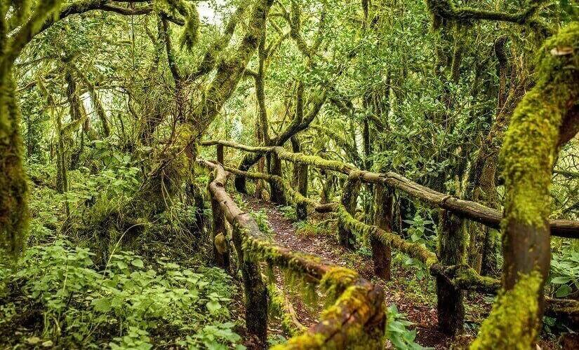 Lorbeerwald im Nationalpark Garajonay auf La Gomera