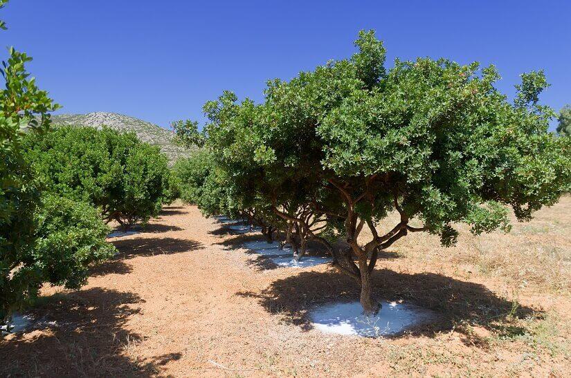 Mastixbäume auf Chios