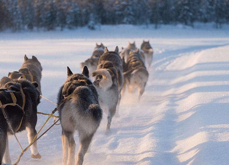 Husky, Schnee, Schlittenhunde, Hundeschlitten, Winter