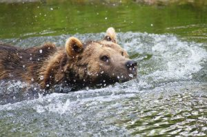 Bär im Wasser
