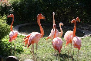 Tierpark Göppingen Flamingos