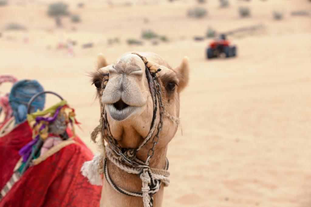 Ein Kamel in der Wüste, im Hintergrund ein Quad