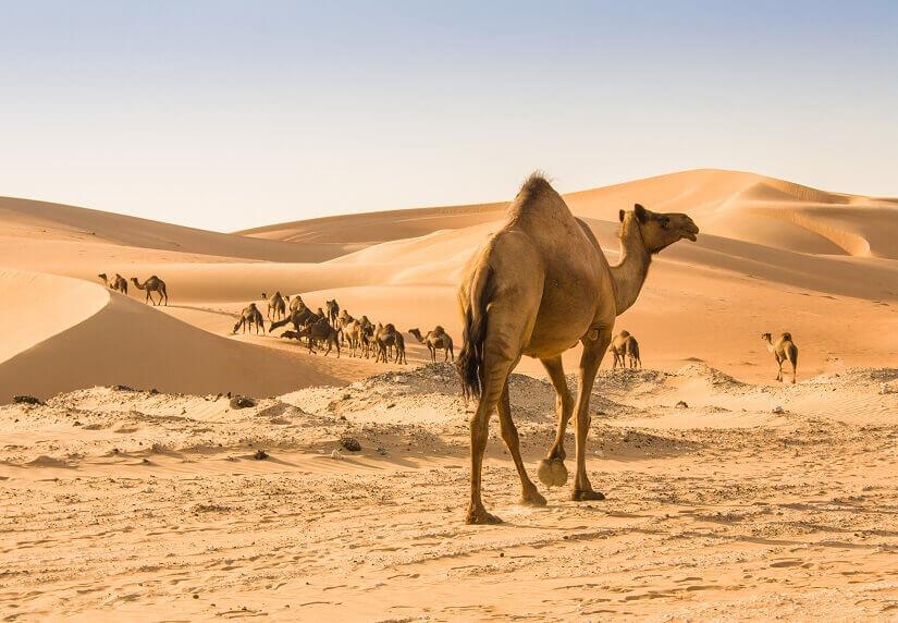 Dromedare in der Wüste von Abu Dhabi
