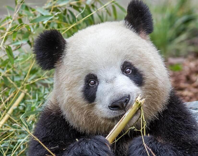 Großer Panda im Zoo Berlin