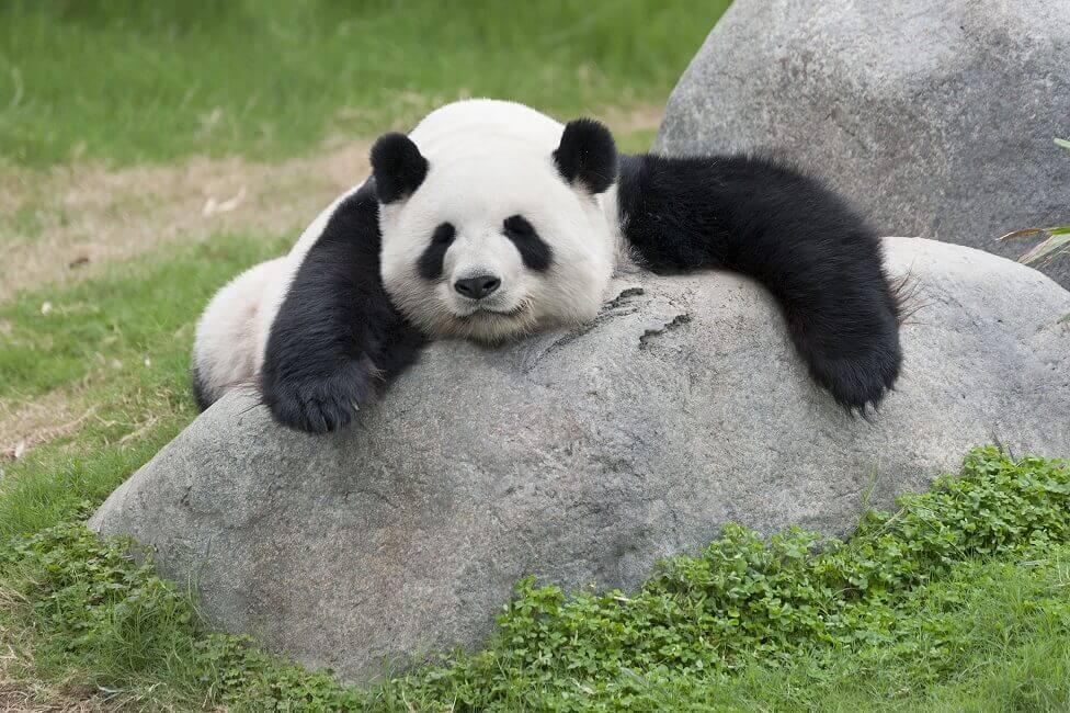 Panda im Zoo von Edinburgh