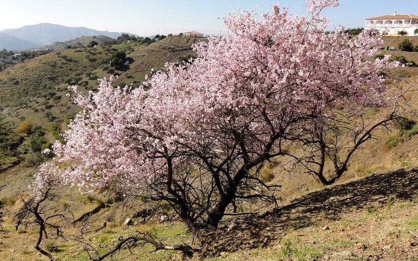Bild Mandelblüte auf Mallorca
