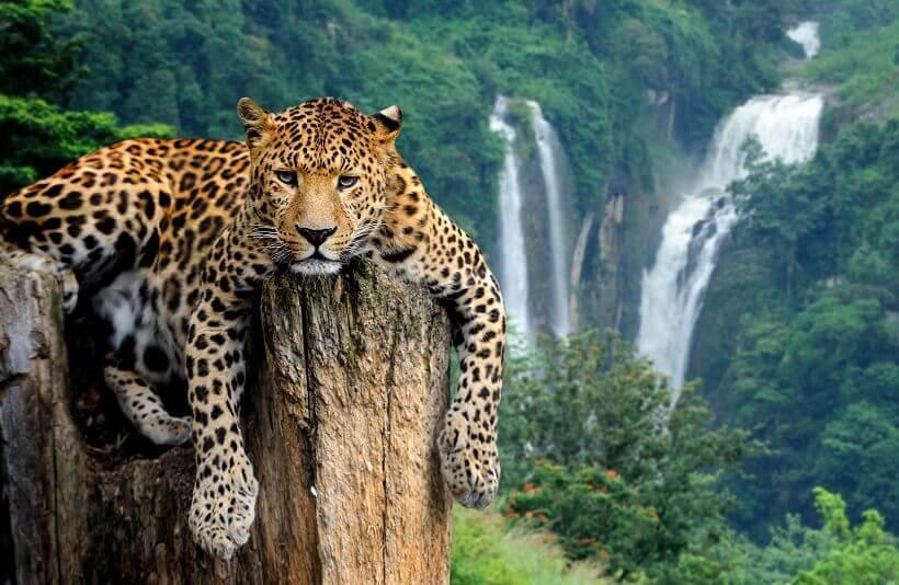 Jaguar chillt vor Wasserfällen im Iguazu Nationalpark