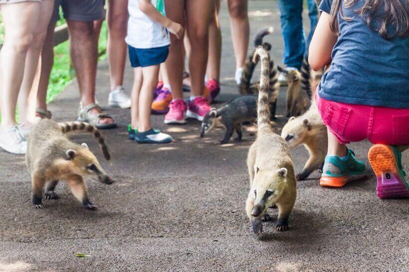 Nasenbären im Iguazu Nationalpark erfreuen die Touristen.