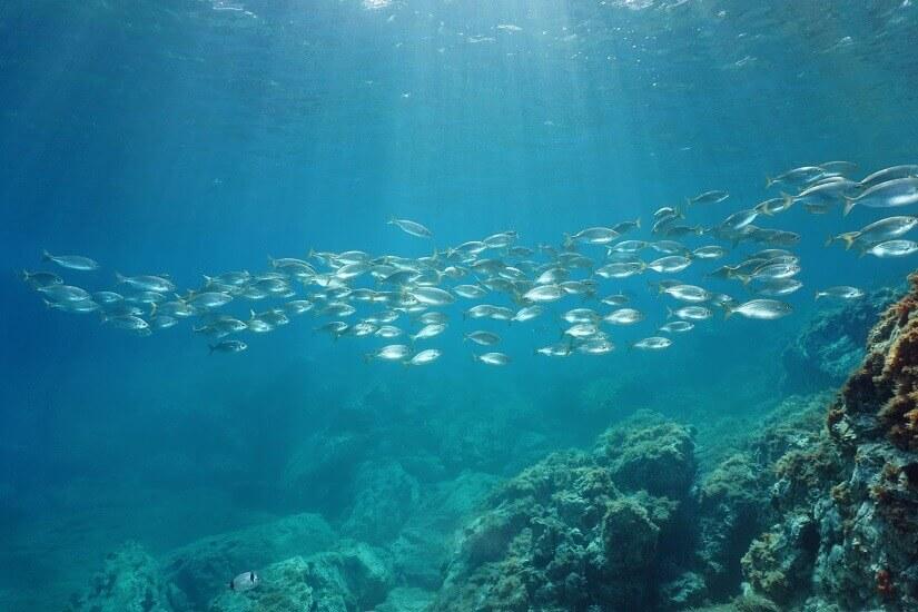 Bild Fischschwarm vor der Costa Brava in Spanien