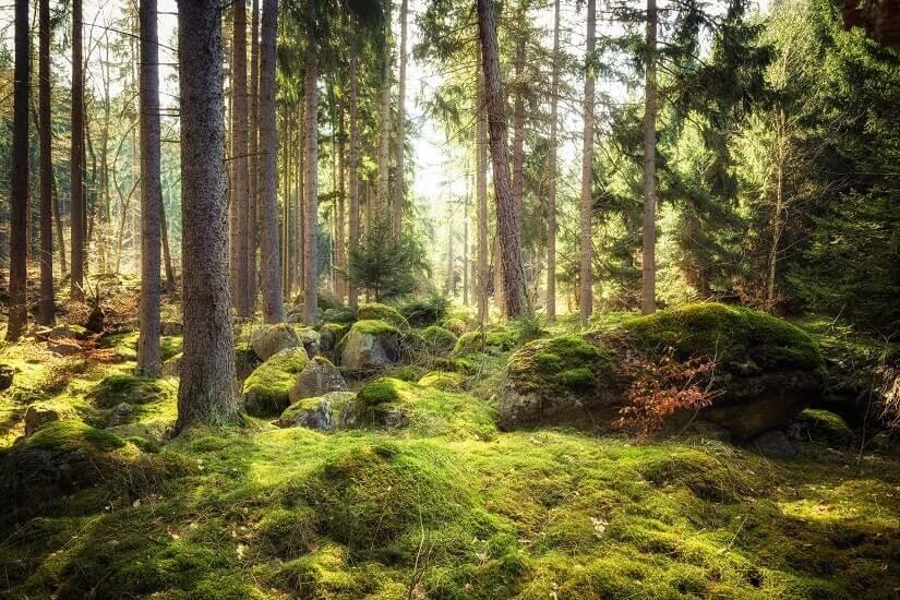 Bild Harz Wald im Frühling