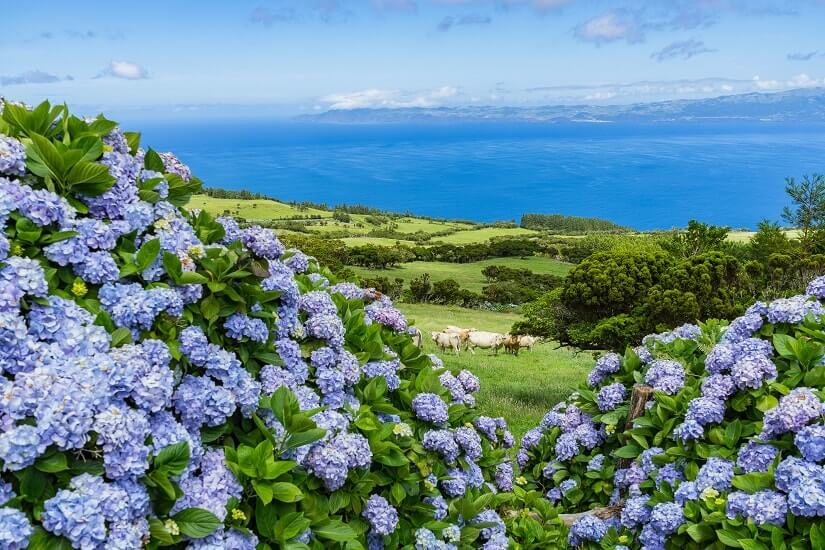 Hortensien, Weiden und Kühe auf der Azoreninsel Pico