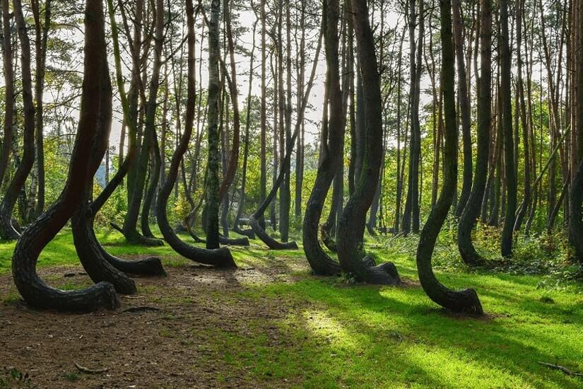 Krummer Wald bei Nowe Czarnowo