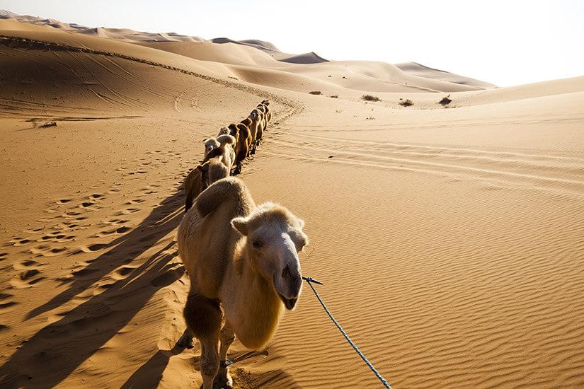 Trampeltiere in der Wüste Gobi