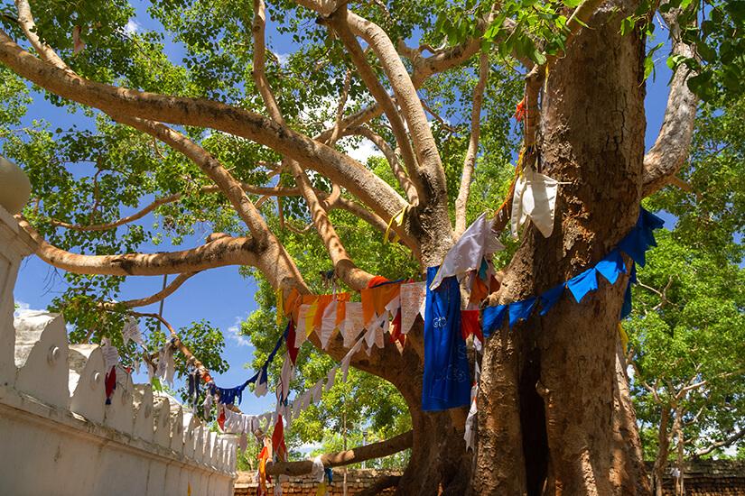 Feigenbaum in Anuradhapura