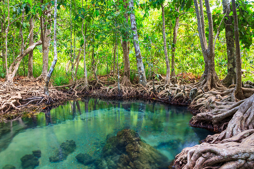 Mangrovenwald Tha Pom