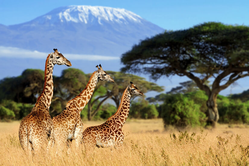 Giraffen vor dem Kilimandscharo