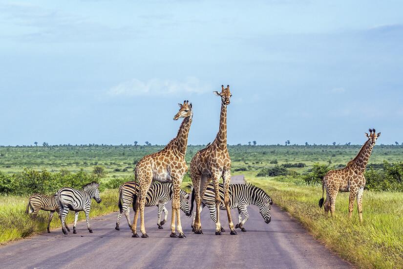 Giraffen und Zebras im Kruger Nationalpark