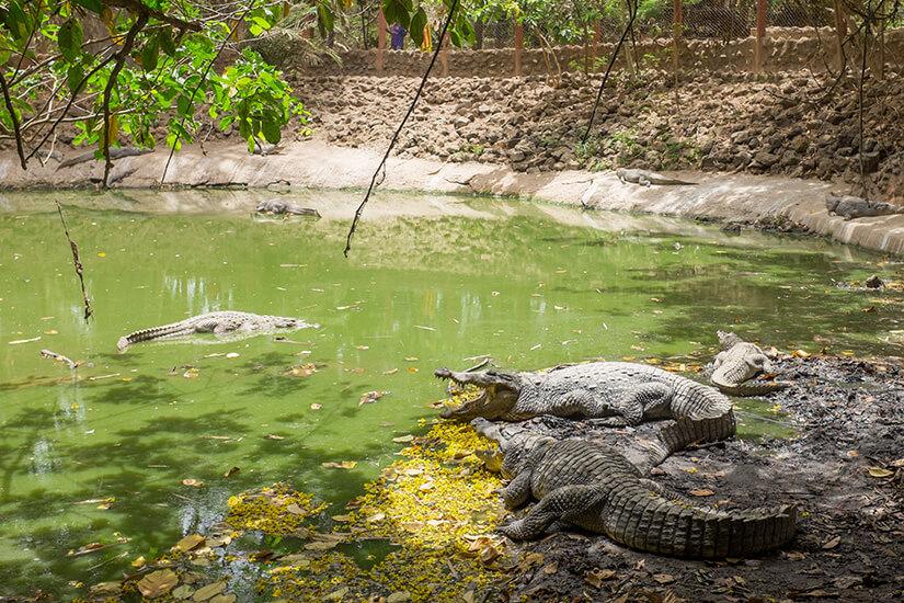 Krokodile in Bakau