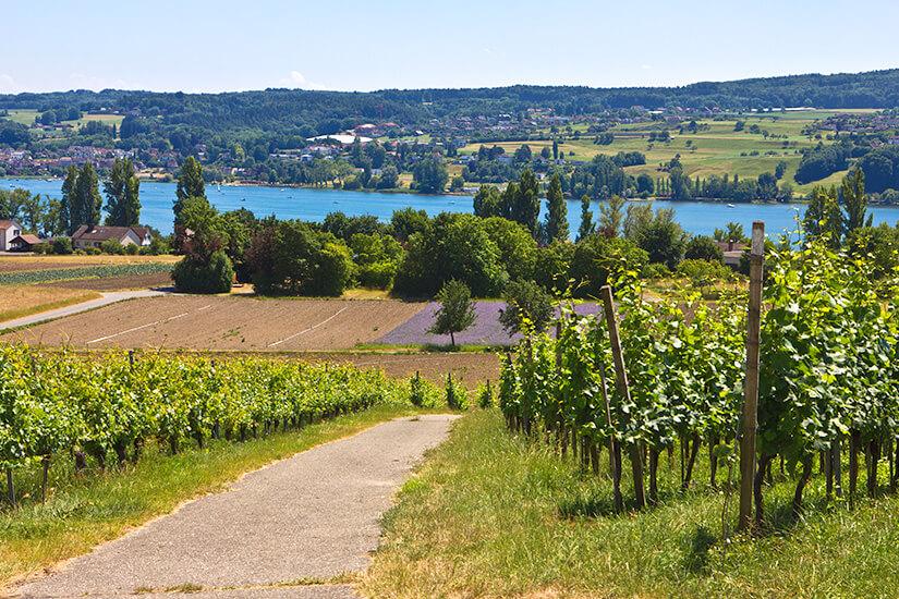Weinanbau in Reichenau am Bodensee