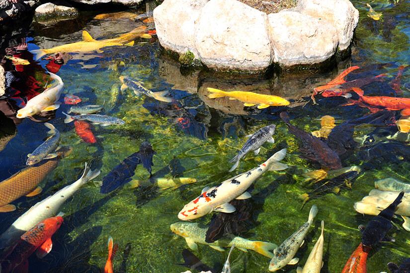 Karpfen im Aquarium von Palma