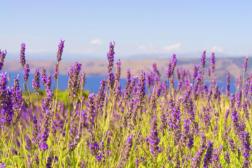 1569933445_Hvar_Lavendel