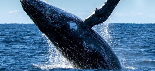 Whale Watching – Top 10 Orte weltweit