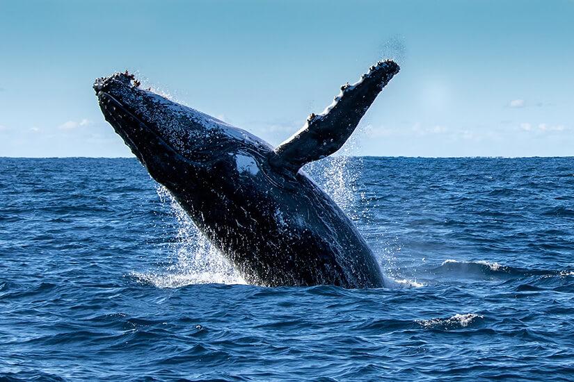 Buckelwal beim Sprung aus dem Wasser