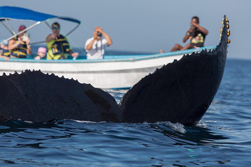 Buckelwalflosse taucht vor Samana auf