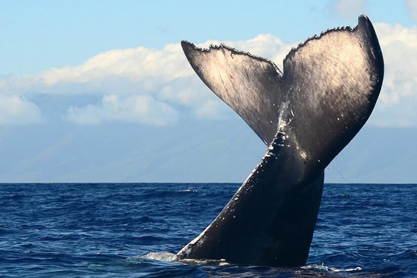 Flosse eines Buckelwals vor Maui