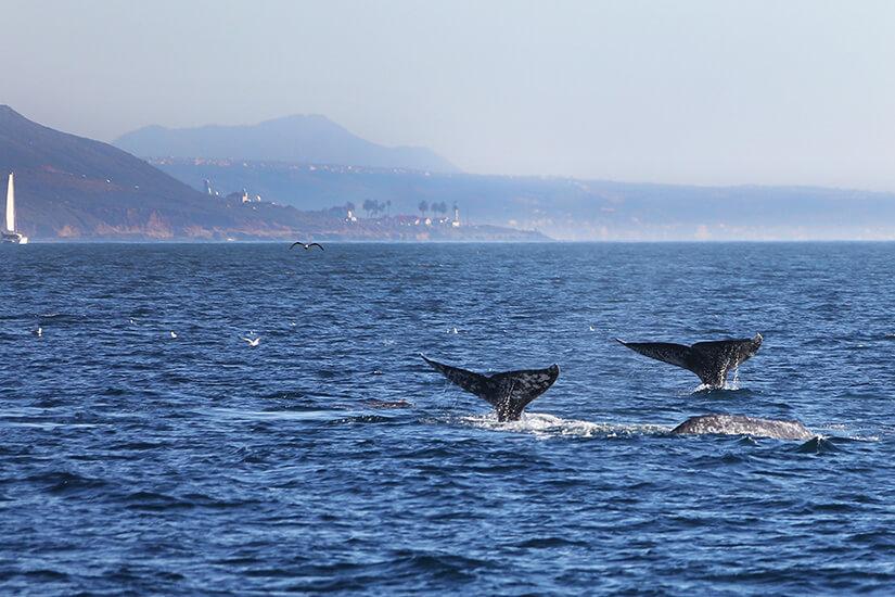 Grauwale vor San Diego
