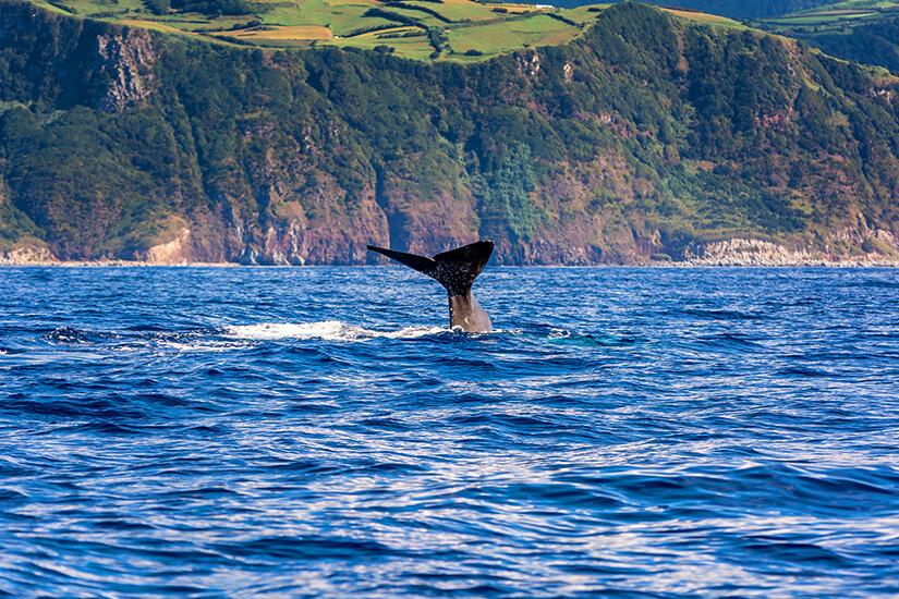 Pottwal taucht vor den Azoren