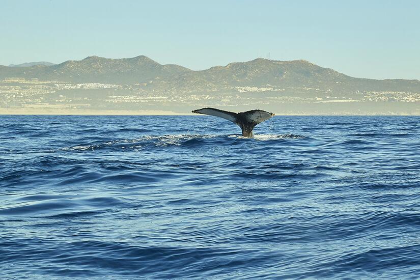 Wal im Pazifik vor Cabo San Lucas
