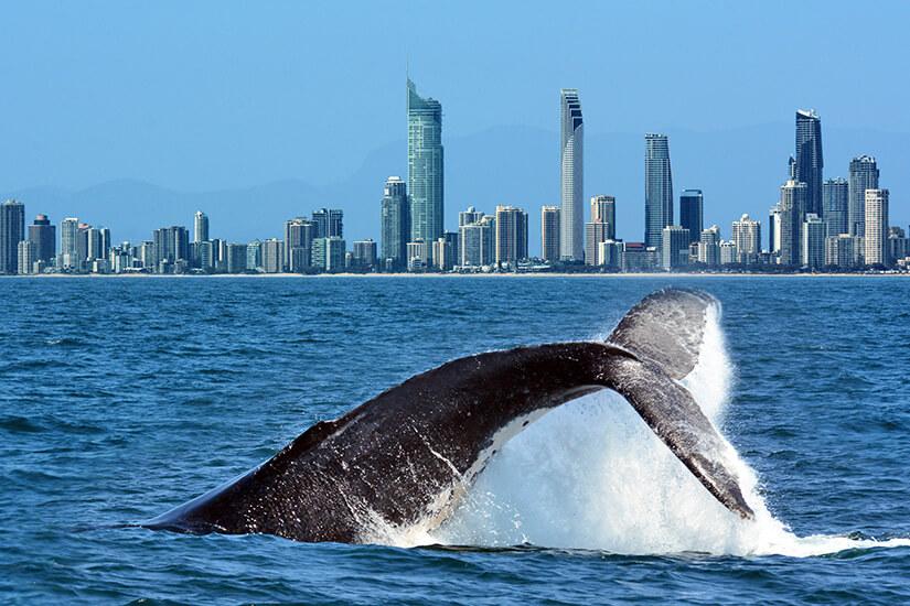 Wal an der Gold Coast von Australien