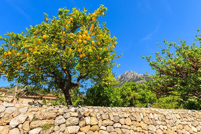 Zitronen wachsen in der Gegend um Port de Sóller
