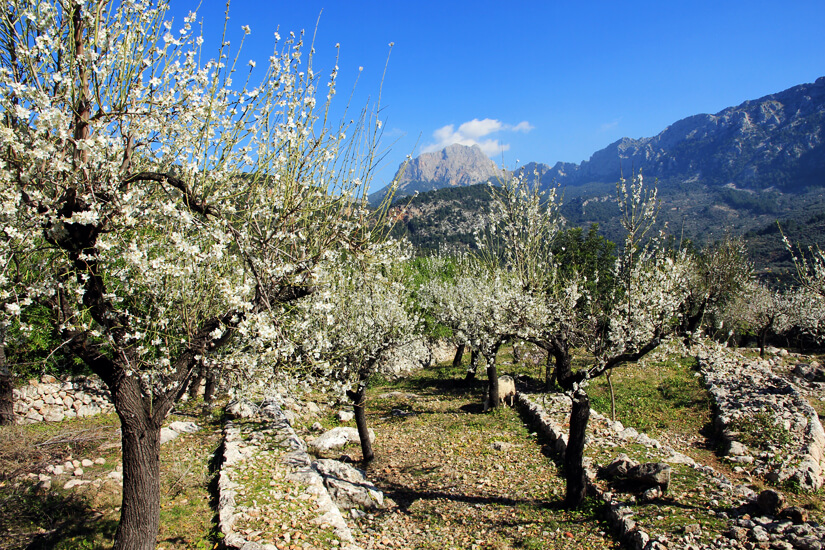 Die Mandelblüte in der Serra Tramuntana