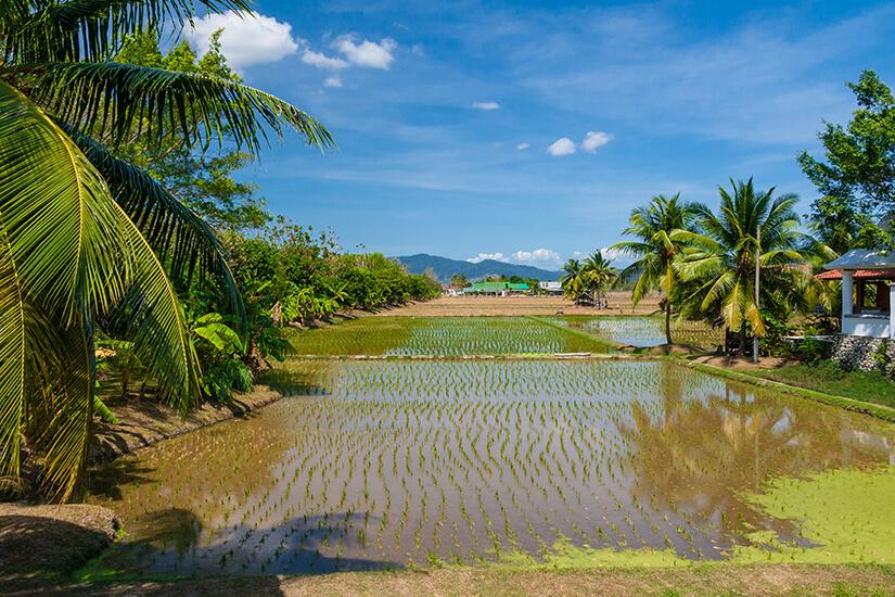 Reisfeld umgeben von Palmen