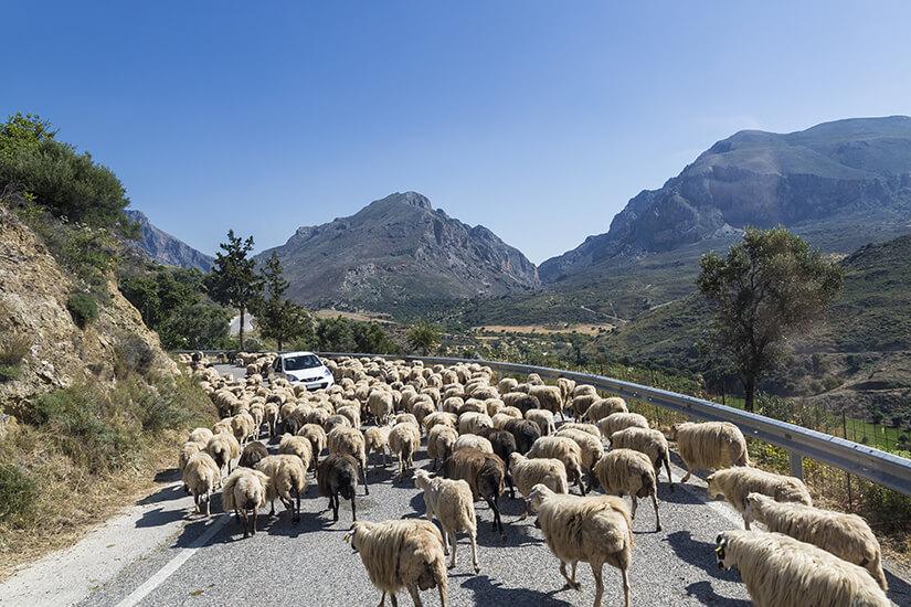 Feta wird aus Schafsmilch gewonnen