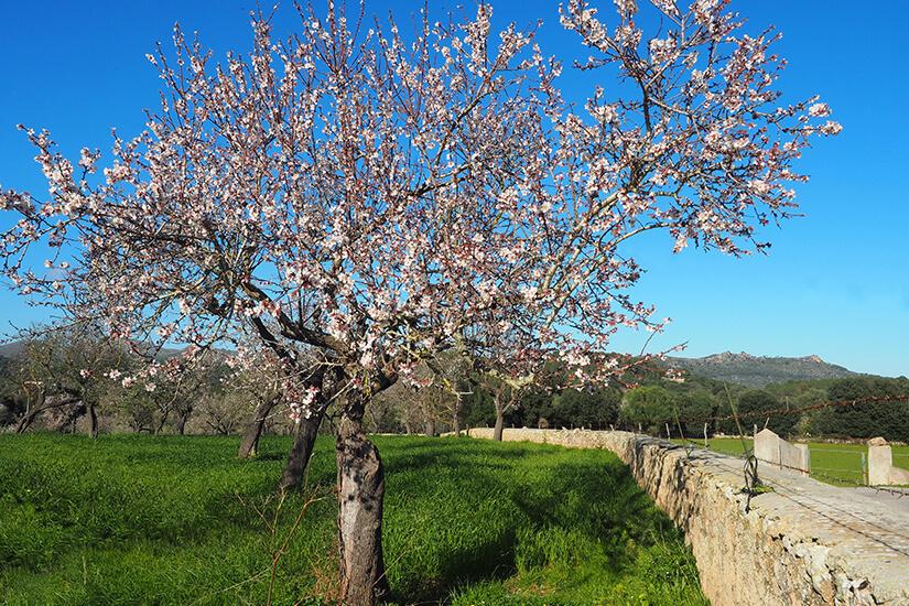 Mandelbaum neben dem Wanderweg