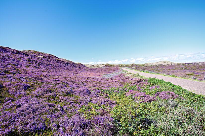 Heidelandschaft auf Sylt