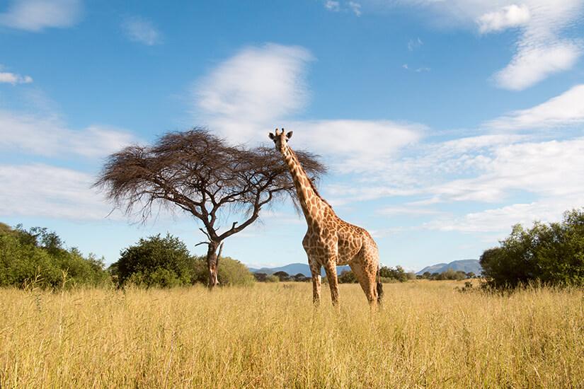 Giraffe im Serengeti-Nationalpark