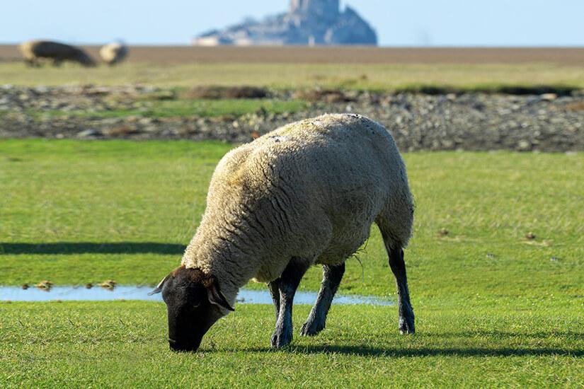 Schafwirtschaft um Le Mont-Saint-Michel