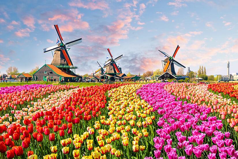Tulpenfelder und Windmuehlen bei Amsterdam