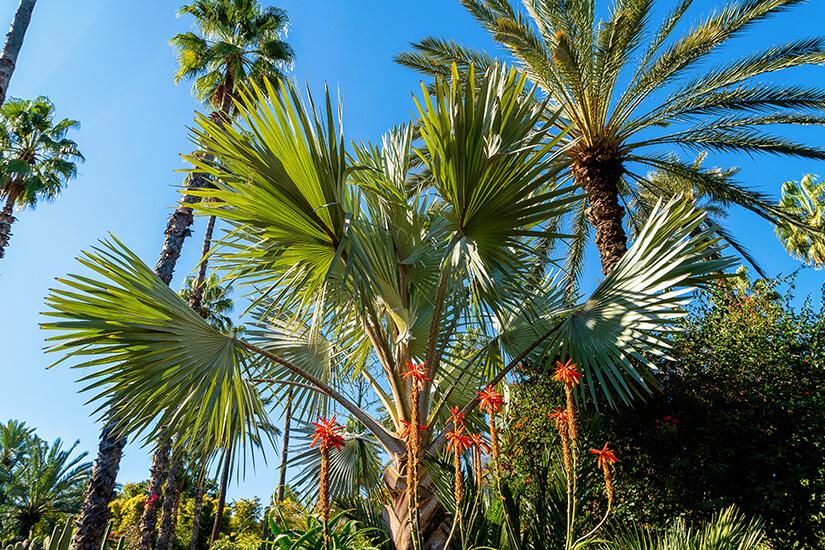 Kakteen Palmen Jardin Majorelle Marrakesch