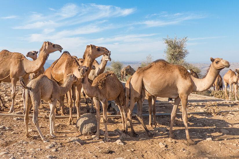 Dromedare im Jebel-Gebirge