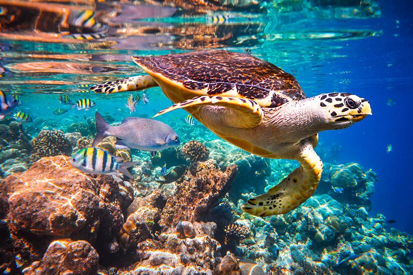 Echte Karettschildkröte im Roten Meer