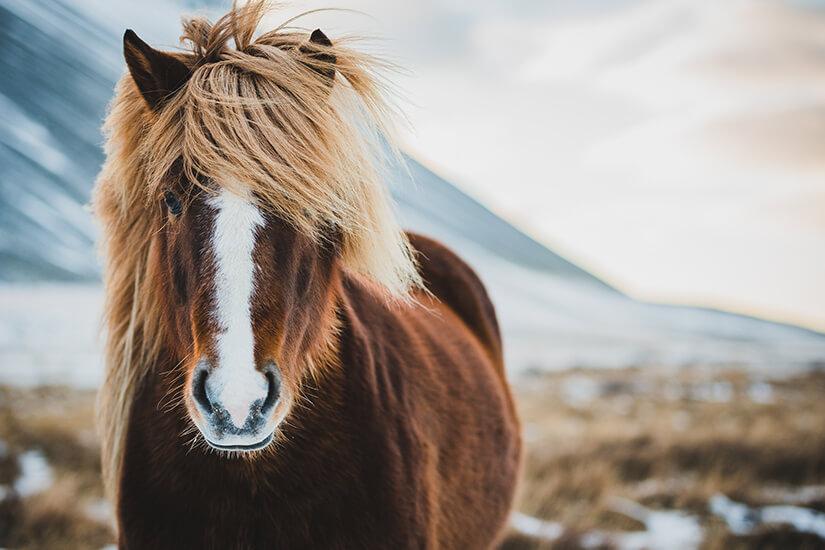 Islandpferd in der freien Natur