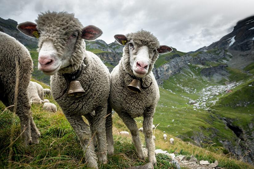 Neugierige Schafe nahe des Kandersteg