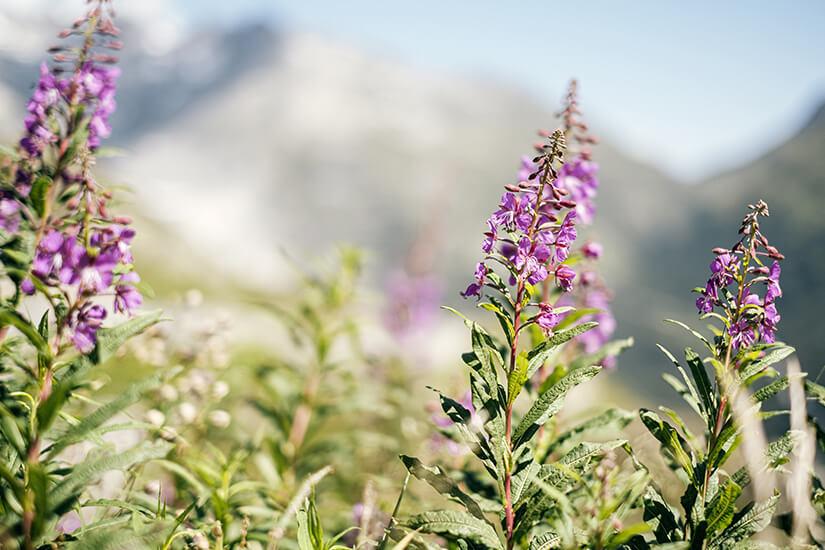 Kraeuter der Schweizer Alpen