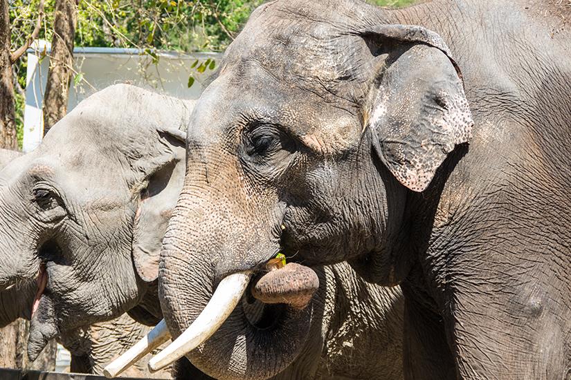 Thailaendische Elefanten