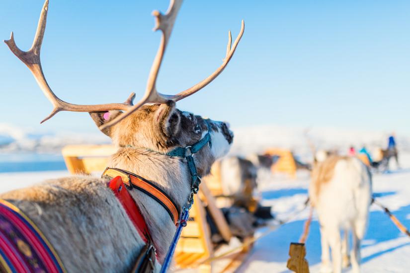 Rentiere im norwegischen Lappland